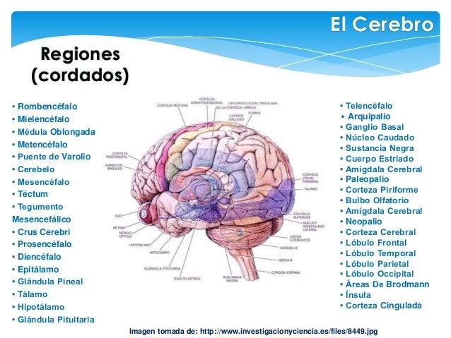 Regiones (cordados) El Cerebro Imagen tomada de: http://www.investigacionyciencia.es/files/8449.jpg • Rombencéfalo • Miele...
