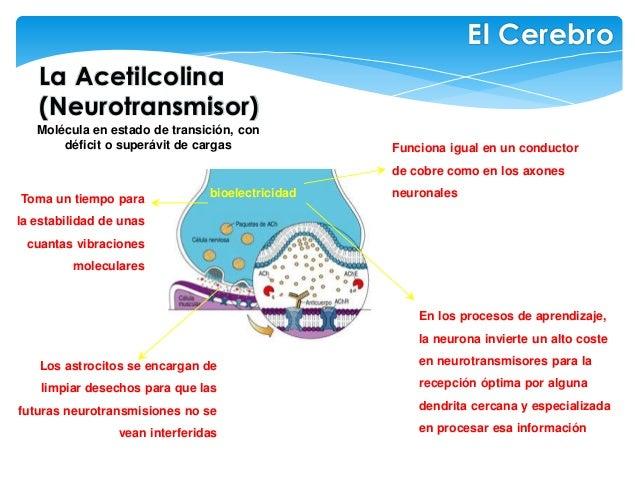 La Acetilcolina (Neurotransmisor) El Cerebro bioelectricidad Funciona igual en un conductor de cobre como en los axones ne...