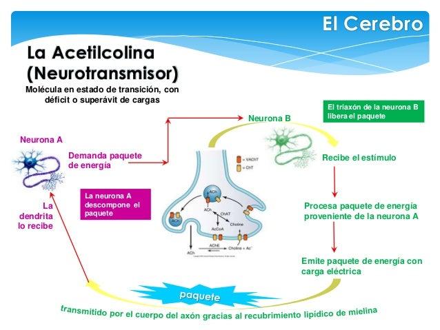 La Acetilcolina (Neurotransmisor) El Cerebro Molécula en estado de transición, con déficit o superávit de cargas Demanda p...