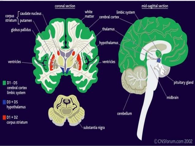 essay on brain development