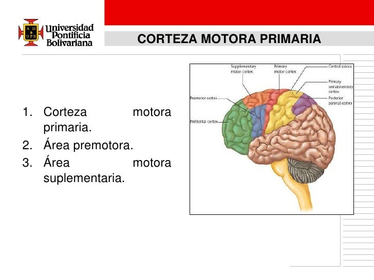 Neurofisiologia del sistema motor