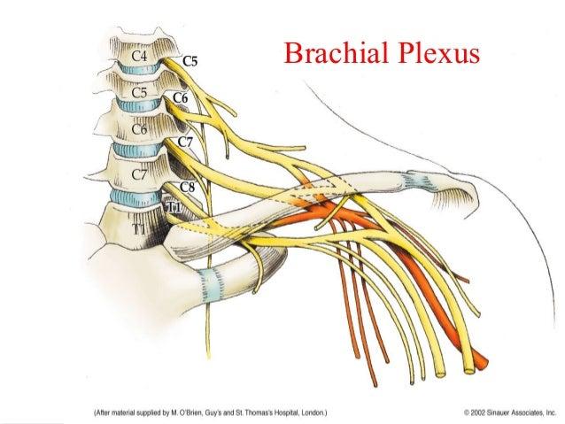 Neurology Ppt Presentation Nerves Location Innervation Myotmes Dermatomes Etc