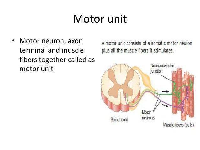 neuromuscular junction simple motor unit diagram simple motor wiring diagram #1