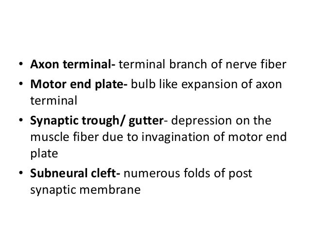 • Axon terminal- terminal branch of nerve fiber • Motor end plate- bulb like expansion of axon terminal • Synaptic trough/...