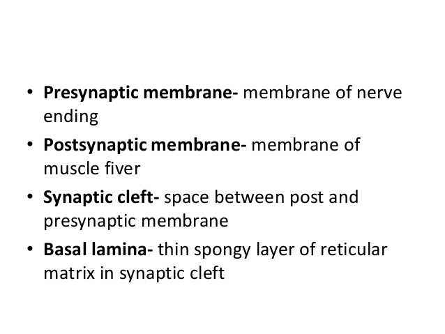 • Presynaptic membrane- membrane of nerve ending • Postsynaptic membrane- membrane of muscle fiver • Synaptic cleft- space...