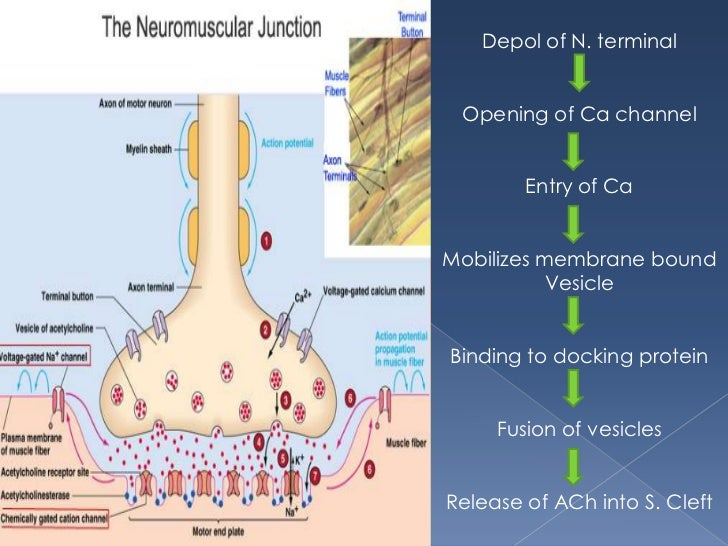 Neuromuscular Junction And Its Physiology