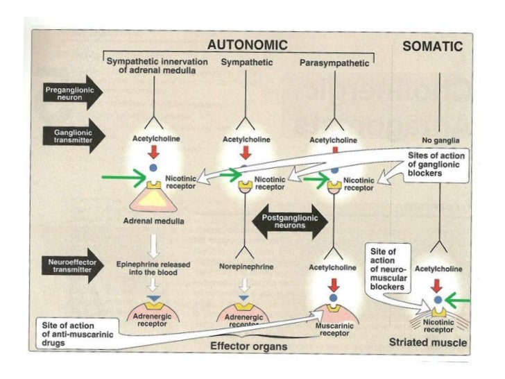 Neuromuscular junction & autonomic ganglia