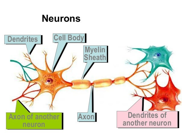 Neuron and neurotransmitters