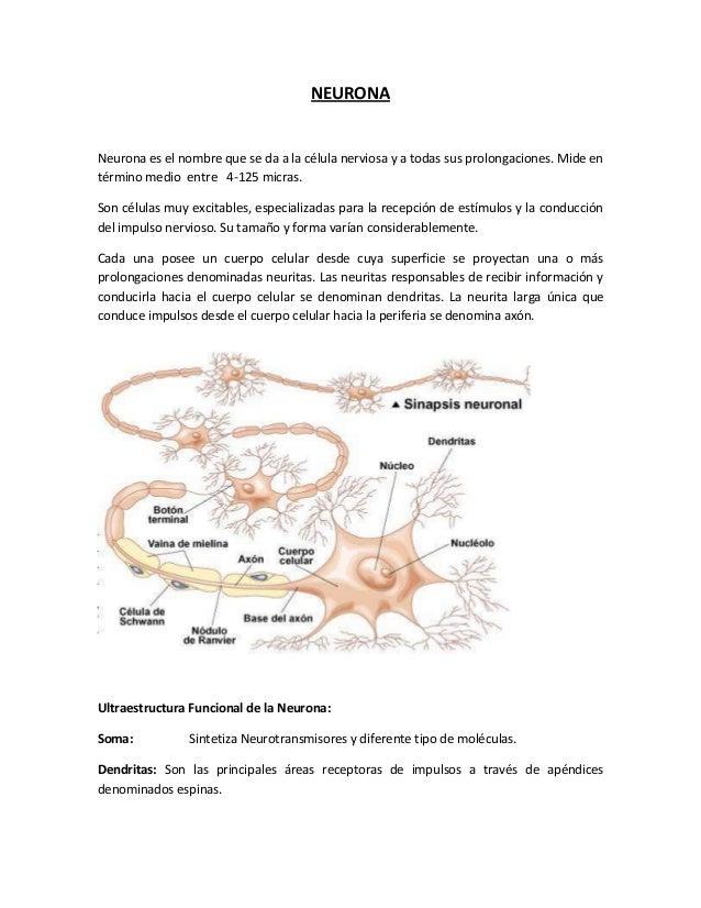 NEURONA  Neurona es el nombre que se da a la célula nerviosa y a todas sus prolongaciones. Mide en término medio entre 4-1...