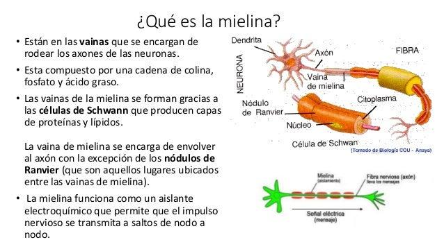 Resultado de imagen de Que es la mielina?