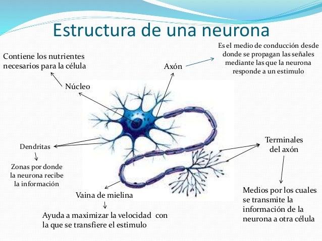 la-neurona-8-638.jpg?cb=1490375588
