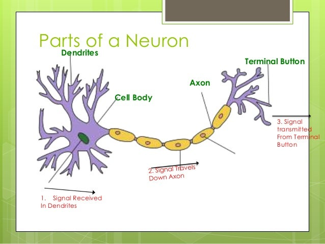 Neuron and neurotransmitter pp