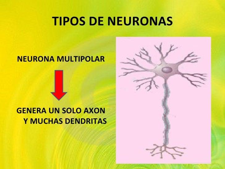 TIPOS DE NEURONAS <ul><li>NEURONA MULTIPOLAR </li></ul><ul><li>GENERA UN SOLO AXON Y MUCHAS DENDRITAS </li></ul>