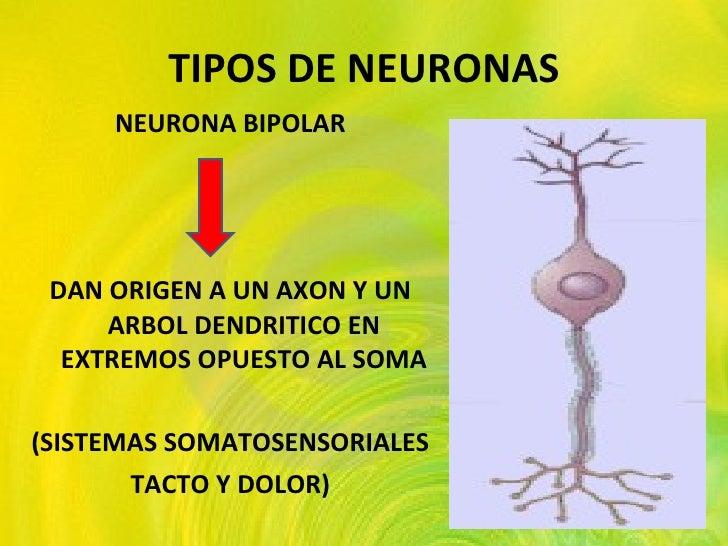 TIPOS DE NEURONAS <ul><li>NEURONA BIPOLAR </li></ul><ul><li>DAN ORIGEN A UN AXON Y UN ARBOL DENDRITICO EN EXTREMOS OPUESTO...