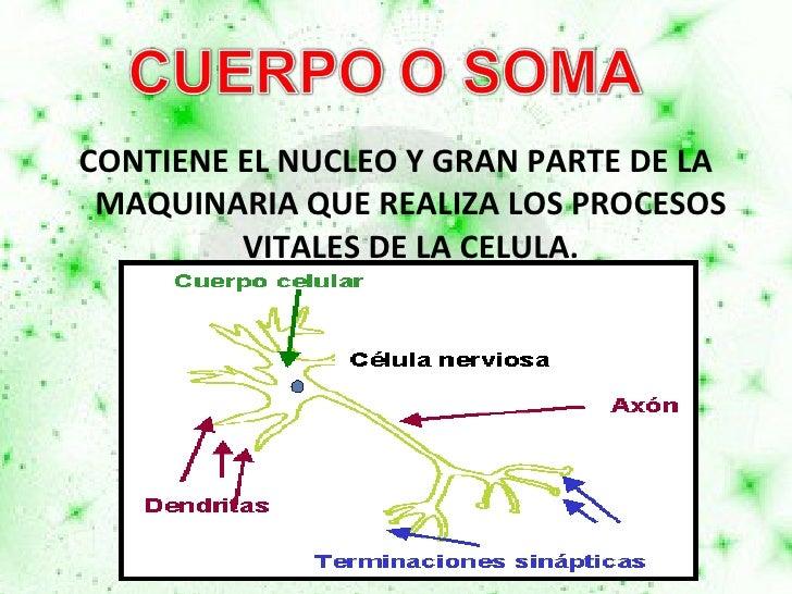 <ul><li>CONTIENE EL NUCLEO Y GRAN PARTE DE LA MAQUINARIA QUE REALIZA LOS PROCESOS VITALES DE LA CELULA. </li></ul>