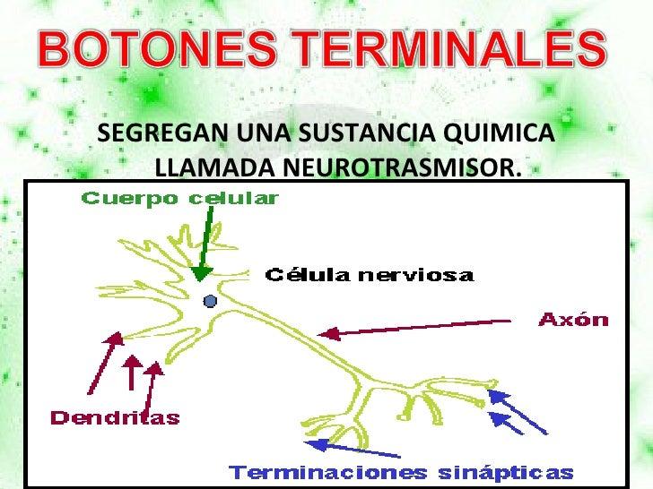 <ul><li>SEGREGAN UNA SUSTANCIA QUIMICA LLAMADA NEUROTRASMISOR. </li></ul>