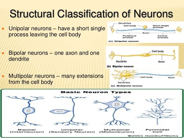 overview of neuron structural and functional What is a neuron fun facts the question of intelligence why do we care methods for studying brain & intelligence links glossary bibliography:  the cerebrum: the cerebrum or cortex is the largest part of the human brain, associated with higher brain function such as thought and action the cerebral cortex is divided into four sections.