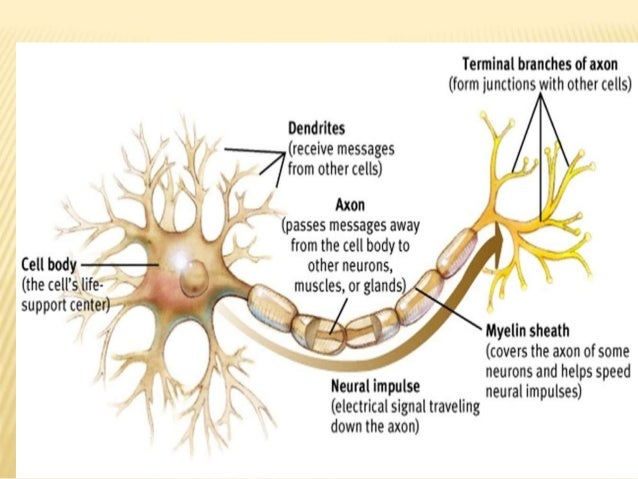 Neuron & its structural & functional type by Murtaza Syed