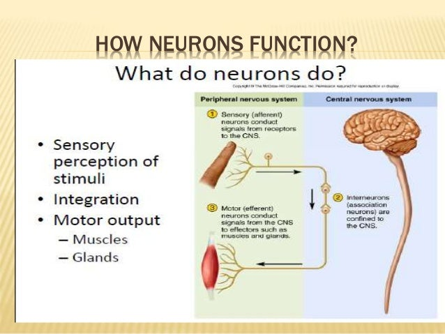 Neuron its structural functional type by murtaza syed structural types of neuron ccuart Images