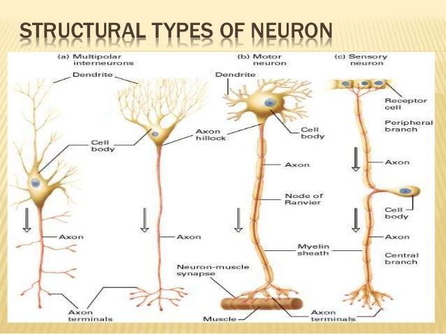 Jimco Lamp Neurons Function In The Brain - wowkeyword.com