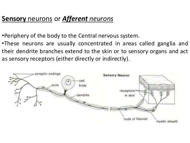 Afferent neuron diagram wiring library structure of neuron rh slideshare net afferent neuron structure sensory neuron diagram ccuart Images