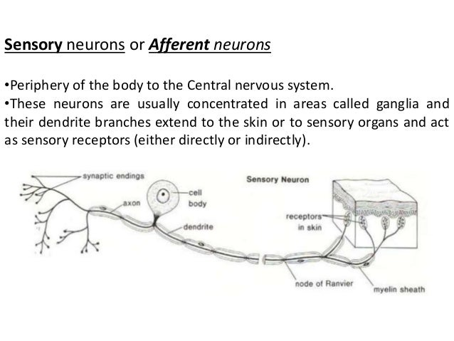 Structure of neuron sensory ccuart Image collections