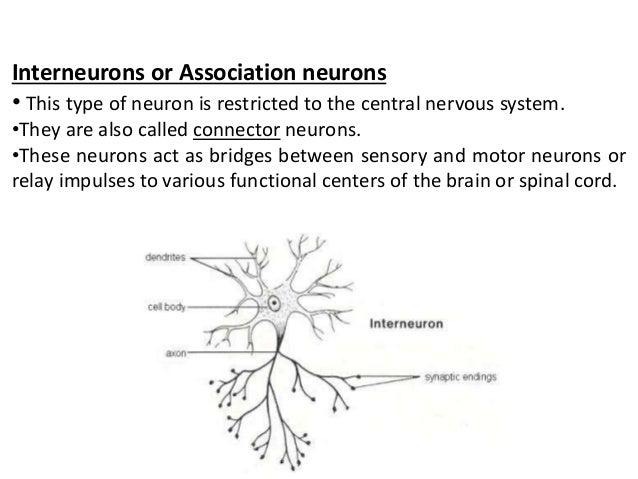 Structure of neuron 25 interneurons or association neurons ccuart Images