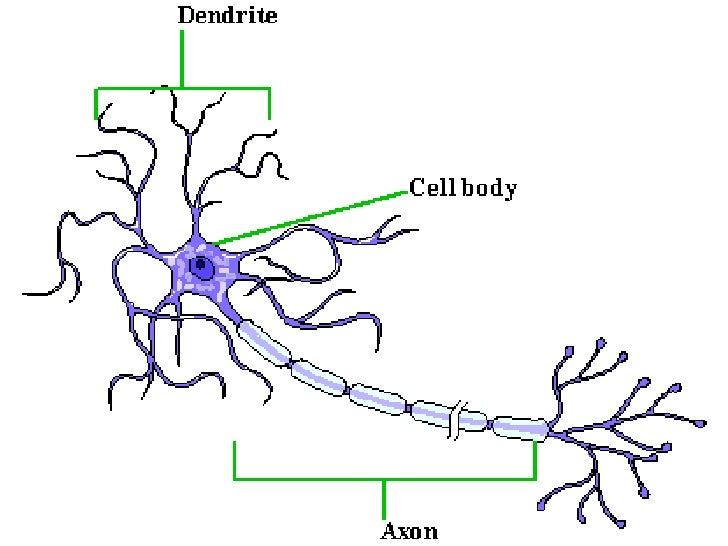 Motor neuron and sensory neuron diagram for Eddie gilstrap motors salem indiana