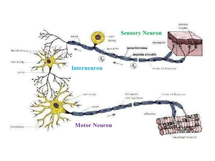 Inter motor and sensory neuron diagram electrical work wiring neurons rh slideshare net neuron diagram labeled neuron anatomy diagram ccuart Images