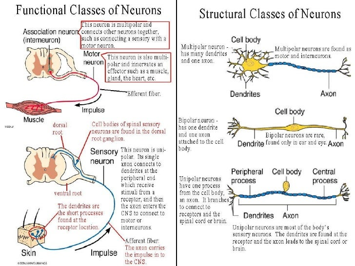 Motor Neuron Anatomy Images Human Body Anatomy