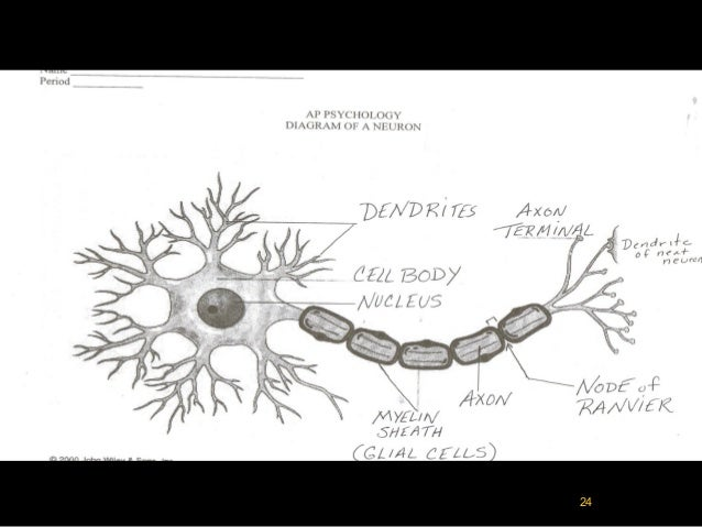 neurons semi permeable membrane 1 diffusion across a selectively permeable membrane1 2 each cell is surrounded by a selectively permeable cell membrane which regulates what gets into and out of the.