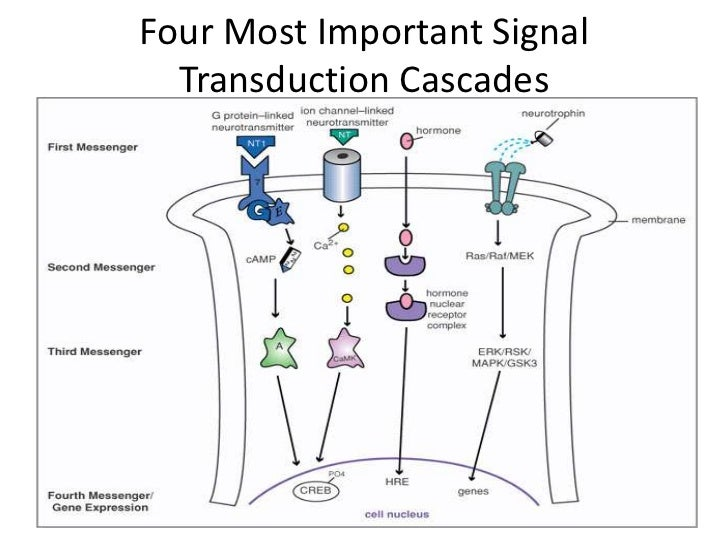 Neurons communication and transduction 23 ccuart