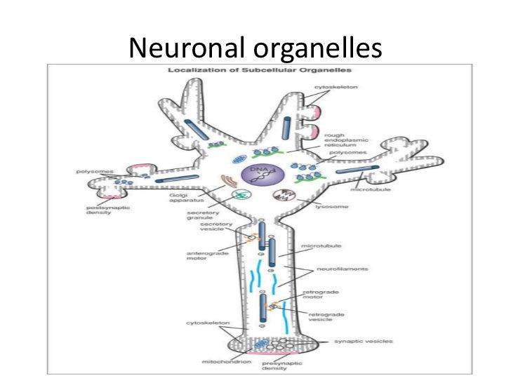 Neurons, communication and transduction