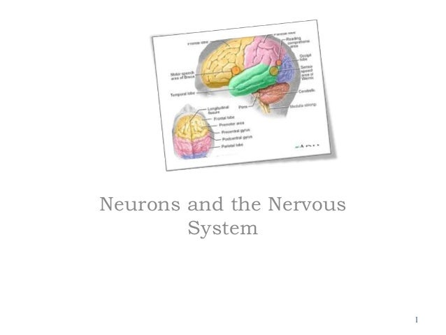 Neurons and the Nervous System 1