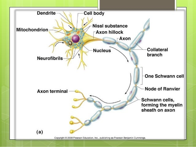 Neuron structure and nerve cells