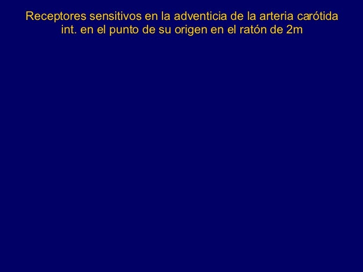 Receptores sensitivos en la adventicia de la arteria carótida int. en el punto de su origen en el ratón de 2m