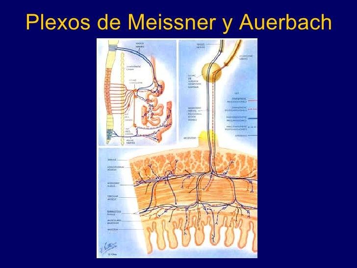 Plexos de Meissner y Auerbach