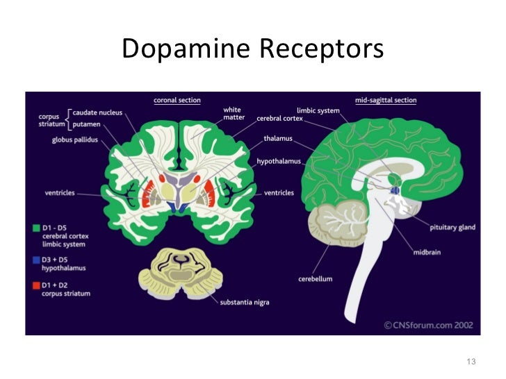 Neurotransmitter dopamine dopamine receptors 13 ccuart Image collections