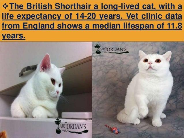 Neuter in Connection With British Shorthair Kitten