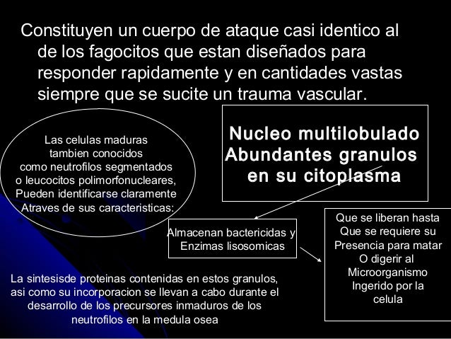 Los neutrófilos (2) Slide 2