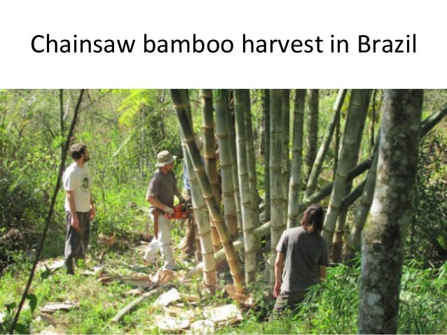 611d7e91d2401 Harvest in Asia  15. Chainsaw bamboo harvest in Brazil ...