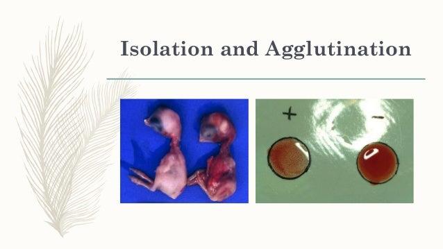 Recombinant Vaccines Vectors: Herpesvirus of turkeys Fowl poxvirus Fusion protein gene In ovo application Injection