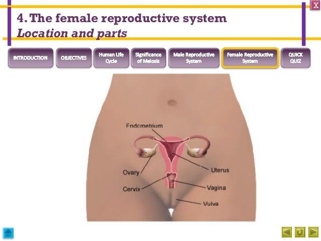 Human sexual reproductive organs female