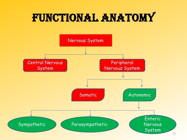 Physiology of ANS