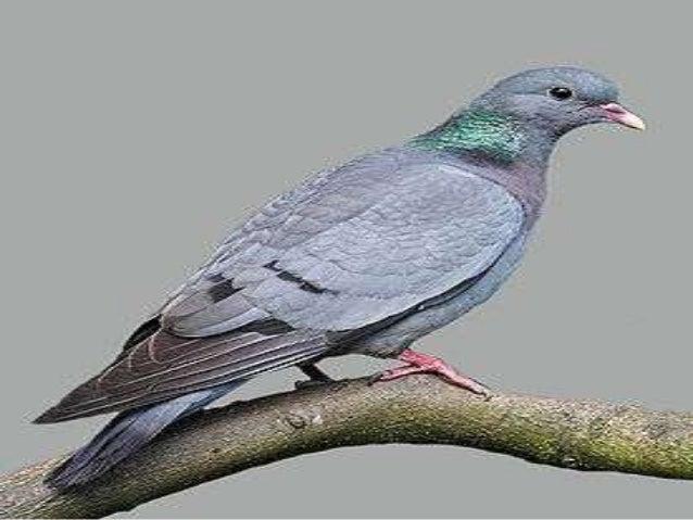 Աղավնիներ Աղավնանմանների կարգի թռչունների այս ընտանիքն ընդգրկում է 297 տեսակ։ ՀՀ-ում տարածված է 6 տեսակ՝ հոբալը, անտառային...