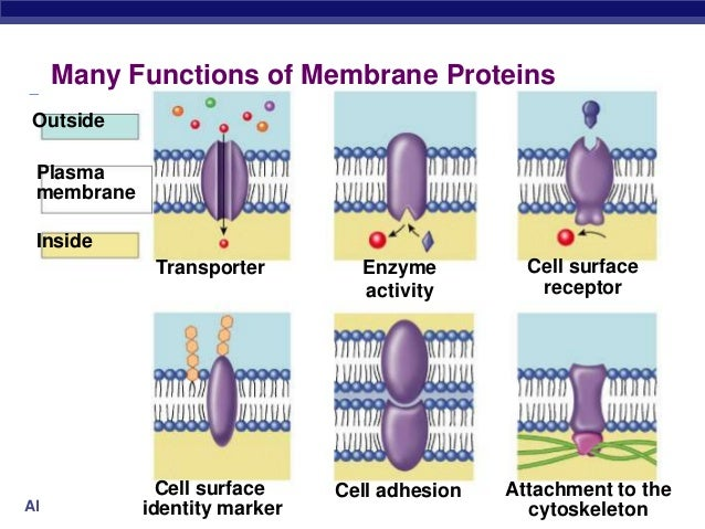organelle and plasma membrane essay Essay on cells: cell and plasma membrane to begin, the outside of the cell is called the cell wall, which helps to keep the shape of the cell and acts as a protective barrier.