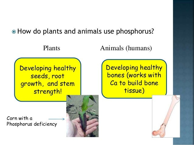 What is the importance of Phosphorus to human body?