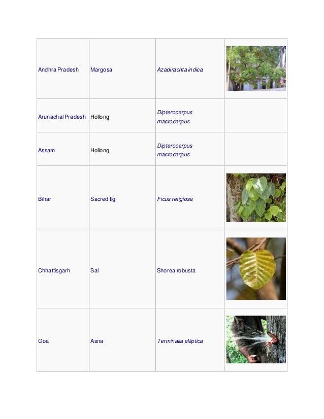 Andhra Pradesh Margosa Azadirachta indica Arunachal Pradesh Hollong Dipterocarpus macrocarpus Assam Hollong Dipterocarpus ...
