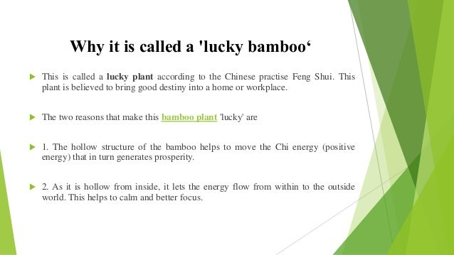 Lucky Bamboo Plant Amp Its Benefits