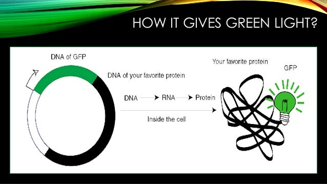 gfp protein Introduction the use of aequorea victoria green fluorescent protein (gfp) and its derivatives has tremendously increased our knowledge of bacterial cell biology (1, 2).